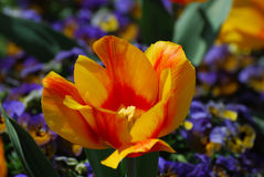 Bright Colored Yellow and Red Striped Tulip Blossom Royalty Free Stock Image