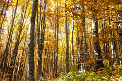 Bright Colorful Autumn Beech Forest Stock Images