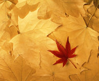 Bright colorful autumn leaves. Unsharpened Stock Photos