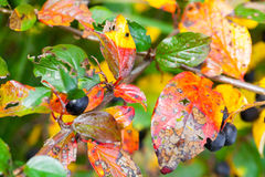 Bright colorful autumn leaves, macro Stock Images