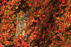 Bright colorful autumn leaves surrounding a window. Bright colorful autumn creeper on a wall surrounding open window stock photography