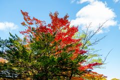 Bright colorful autumn trees in red maple tree and orange maple tree against clear cloud blue sky background in autumn season ,Jap. An royalty free stock photo
