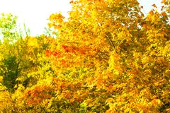 Yellow autumn leaves, fall branches Royalty Free Stock Photos