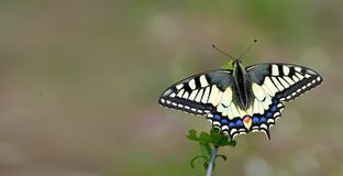 Bright butterfly machaon in the meadow. butterfly sitting on a branch. close up. copy spaces stock photo