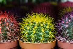 Bright colorful cactuses at the flowers market. Bright colorful cactuses at the flowers  market Stock Image