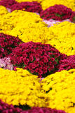 Bright colorful  chrysanthemums Stock Photos