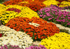 Bright colorful  chrysanthemums Royalty Free Stock Photos