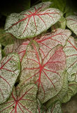 Bright and colorful coleus leaves Stock Photo