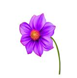 Bright colorful Dahlia flower, Spring flower Stock Photography