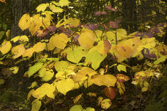 Bright, colorful fall foliage of a hopbush in New Hampshire. Royalty Free Stock Images