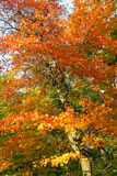 Bright Colorful Fall Tree Leaves - Central Park NYC Stock Photography