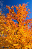 Bright Colorful Fall Tree Leaves. Bright colorful orange fall leaves on blue sky background stock photo