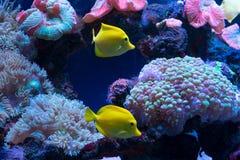 Bright fish swim in the aquarium Stock Photo