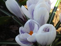 Bright colorful fresh white Crocus flowers in full bloom, Vancouver, Canada. Bright colorful fresh white and purple Crocus flowers in full bloom, Vancouver stock photography