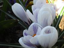 Bright colorful fresh white and purple Crocus flowers in full bloom, Vancouver, Canada. Spring 2019 stock photo
