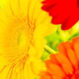 Bright colorful gerbera flowers close up Stock Images