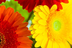 Bright colorful gerbera flowers close up Royalty Free Stock Photo