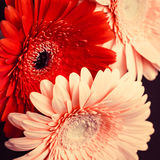 Bright colorful gerbera flowers close up Royalty Free Stock Photos