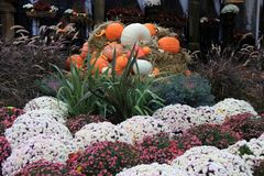 Bright and colorful hardy mums surrounding cornucoppia of Fall arrangement. Gorgeous scene of colorful hardy mums and cornucopia of pumpkins, squash and gourds Royalty Free Stock Images