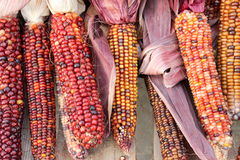 Bright and colorful indian corn Royalty Free Stock Photo