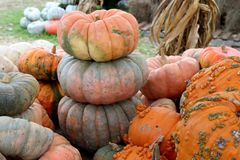 Bright and colorful large pumpkins and cornstalks at outdoor section of nursery royalty free stock image