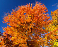 Bright Colorful Leaves on a Fall Tree Royalty Free Stock Photos