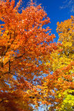 Bright Colorful Leaves on a Fall Trees. Bright colorful leaves on Fall trees on blue sky background Royalty Free Stock Images