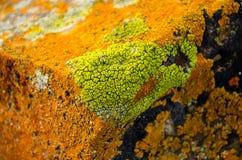 Bright Colorful Lichen. Bright Green lichen surrounded by orange Lichen on a rock Stock Photo