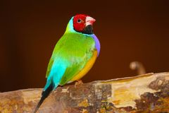 Bright colorful male gouldian finch in profile view perching on a branch in front of a brownish red background stock image