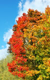 Bright colorful maple tree in autumn Royalty Free Stock Photo