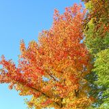 Bright colorful maple tree leaves blue sky autumn. Colorful autumn leaves and tree branches in a blue sky in autumn, Netherlands Stock Image