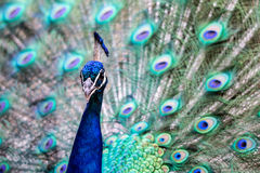 Bright colorful Peacock Royalty Free Stock Photo