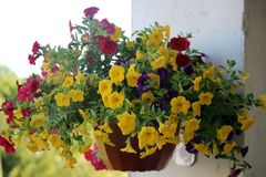 Bright colorful potted flowers hanging on a wall. Photo Stock Photo