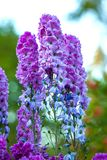 Delphinium flower lilac on a blurred green background. stock photography