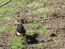 Bright colorful spotted Towhee bird at Jericho beach park in 2019 royalty free stock photography