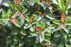 Bright colorful spring ficus background Royalty Free Stock Photography