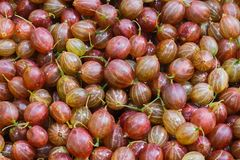 Colorful summer harvest of ripe juicy gooseberries background stock photography