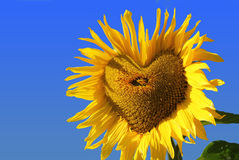 Bright colorful sunflower with heart shaped middle against blue. Bright colorful sunflower with heart shaped middle, against blue sky stock photography