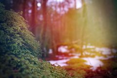 Bright Colorful Sunrays Next to Moss or Lichen Covering a Stone in the Forest stock photo