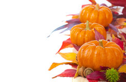Bright and Colorful Thanksgiving or Halloween, Fall Mini Pumpkins in a Line or Row with Fall Leaves  on White Background Royalty Free Stock Image