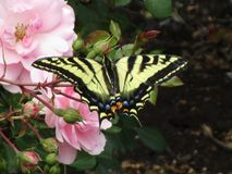 Bright colorful tiger swallowtail butterfly on pink rose in a garden, British Columbia, Canada, 2018. Summertime yellow tiger swallowtail butterfly on pink rose royalty free stock image