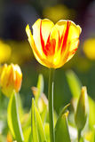 Bright and colorful a tulip close up Royalty Free Stock Images