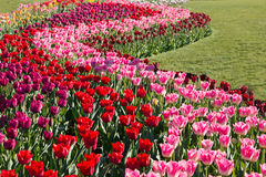 Bright and colorful Tulip Garden Royalty Free Stock Photo