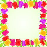 Bright Colorful Tulip Square Frame Royalty Free Stock Photography