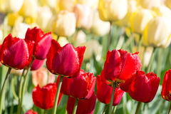 Bright colorful tulips blossoms in spring garden Royalty Free Stock Photography