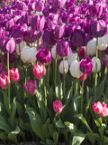 Bright colorful tulips. Royalty Free Stock Image