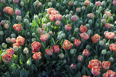 Bright colorful tulips. Stock Photos
