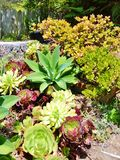 BRIGHT AND COLORFUL VARIETY OF SUCCULENT CACTUS PLANTS. This cactus plant garden was so vivid and colorful. The variety of plants had contrasting colors and Royalty Free Stock Image