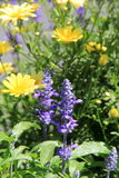 Bright and colorful wildflowers in Summertime garden Royalty Free Stock Image