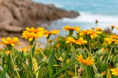 Bright and colorful yellow coastal flowers nature background. With water and coastline on the background Stock Photos